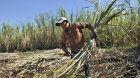 Zuckerrohr Brasilien