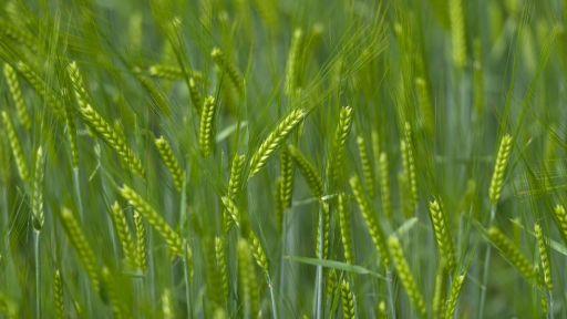 Gerste grün