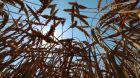 Russland Weizen