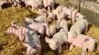 Schweine Ferkel