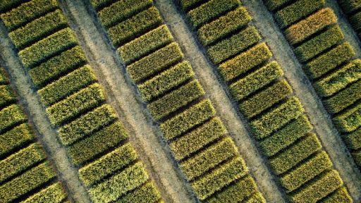 BASF Hybridweizen